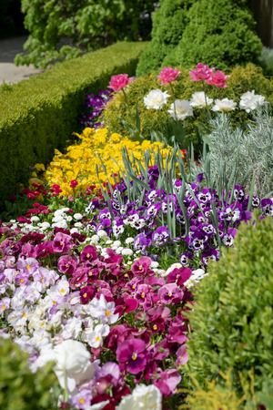 Beautiful ornamental flowerbed with spring flowers. Colorful pansies, daisies and tulips