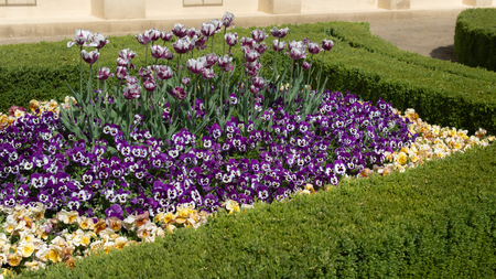 Beautiful ornamental flowerbed with spring flowers. Colorful pansies and tulips with hedges border 写真素材