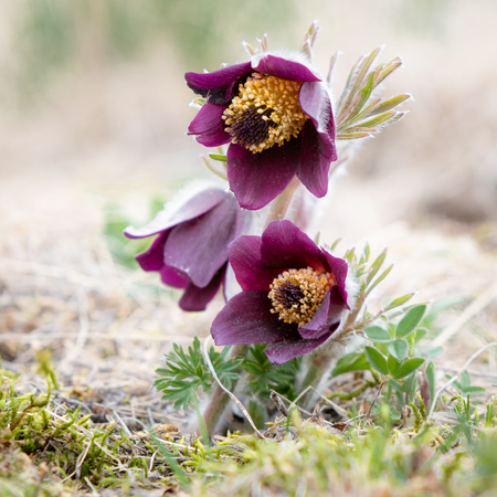 Small Pasque flower - Pulsatilla pratensis subsp. bohemica - naturally growing beautiful spring flower, critically endangered species 写真素材