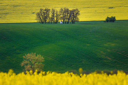 Small chapel in a distance surrounded by trees and fields. Yellow rapeseed blooming and green field of young wheat. Agricultural concept.