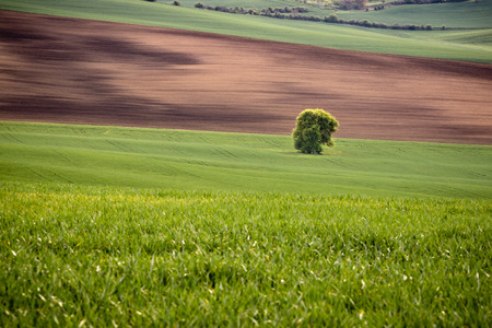 Lone tree standing in a wavy field in spring. Fresh young wheat seedlings and arable crop field. Clean environment and ecological agriculture concept