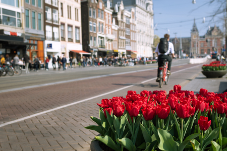 Pots of red tulips and an unidentified man riding a bicycle in the center of Amsterdam, Netherlands. Centraal station in background. Typical view of Amsterdam city.