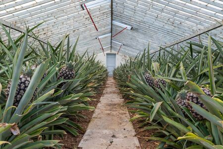 Sweet pineapples growing indoors on a  farm in the greenhouse on the Azores, Sao Miguel island