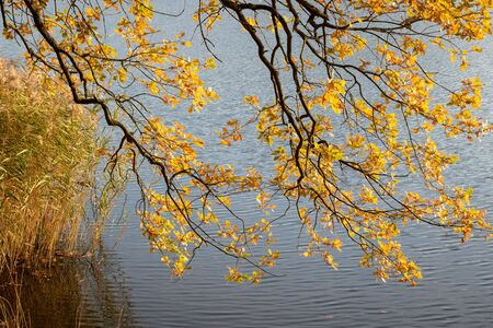 Branches of an old oak tree with yellow leaves bending over a water surface
