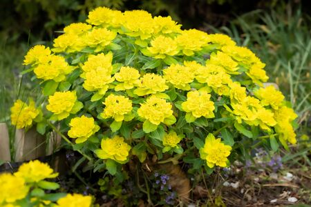Detail of bright yellow cushion spurge 'Euphorbia polychroma' in spring garden. Fresh yellow flowers commonly bloom in many gardens in springtime