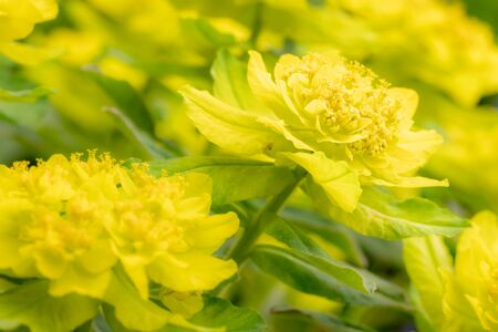 Detail of bright yellow cushion spurge 'Euphorbia polychroma' in spring garden. Fresh yellow flowers commonly bloom in many gardens in springtime. Macro shot, selective focus