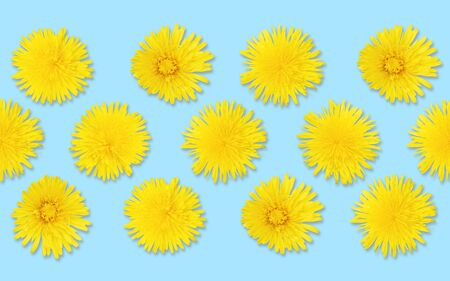 Yellow dandelions seamless pattern on bright blue bold background. Top view, realistic photo collage, floral pattern for fabrics or wrapping paper. Spring colors, repeating blossoms neatly organized