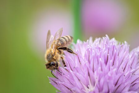 Honey bee collecting nectar from chives plant blossom. Close up macro shot of a bee on purple flower with selective focus