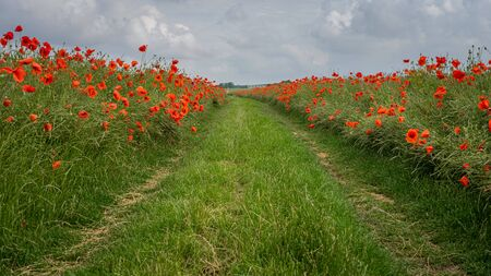 Path through a poppy field in summer. Beautiful footpath with borders of red poppies