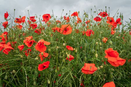 Close up view of red poppies in the field with clouds