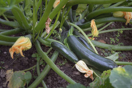 Close-up view of organic zucchini or courgette growing in garden. Blossoms, small and big crops. Fresh and homegrown produce. 免版税图像