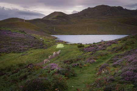 Early morning at Loch Langaig on the Isle of Skye, Scotland. Wild camping in nature and sheep passing by a tent. Blooming purple heather growing on hills