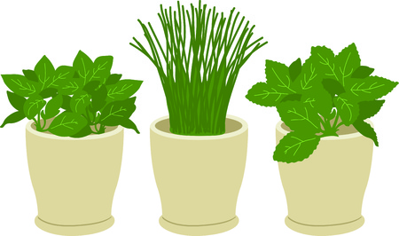 チャイブ: これは誰もが、ハーブを楽しむので庭で働いてお楽しみください庭師に最適です。 彼らはそれを愛する!