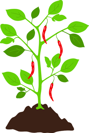 capsicum plant: Use this image of a pepper plant in your gardening design.