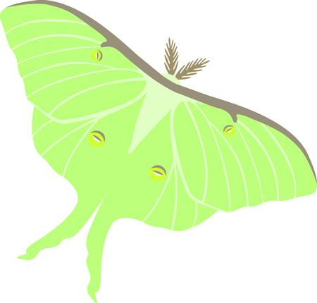luna: Beautiful green Luna Moth lepidopterist collectors and hobbyest. Illustration