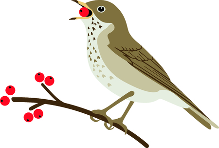 thrush: Use this image of a Thrush in your next design. Illustration