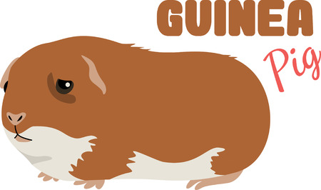 guinea pig: An adorable guinea pig is a cute pet.