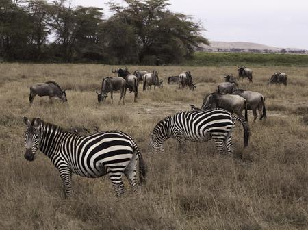 Zebras and Wildebeest Stockfoto