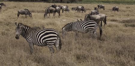 wildebeest & zebras Stockfoto