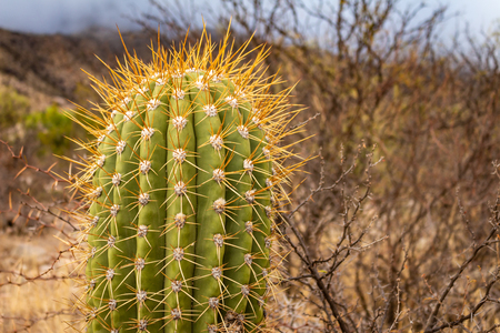 Approach of a typical desert cactus. Detail of his limb covered with thorns.