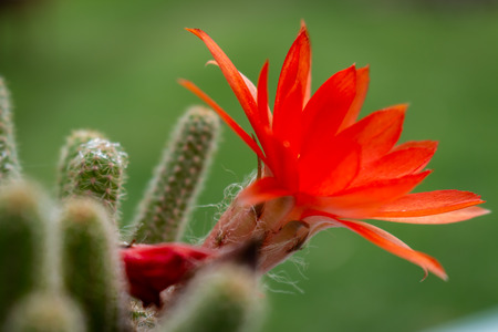 Beautiful red flower with yellow interior of a cactus plant. Flower that lasts only one day. Banco de Imagens
