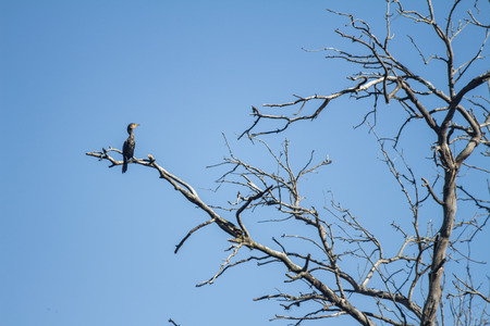 Huge brown colored bird standing on a branch of a dry tree. Wild bird. Stock fotó