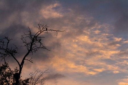 Two pigeons standing on a dry tree during sunset. Cloudy sky had of golds.