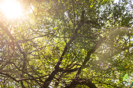 Sunbeams filtering through the branches of a forest. Sky covered with branches in the forest.