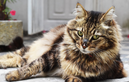 creole: Creole cat crosses mountains Stock Photo