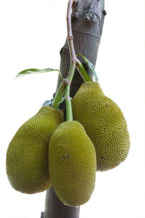 jackfruit dicut photo