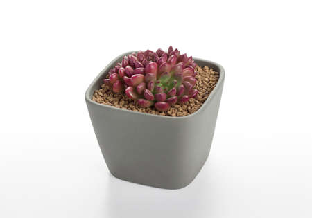 blossom succulent cactus pots in white background