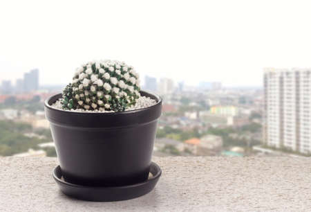 cactus mammillaria bucareliensis erusamu pot on the balcony