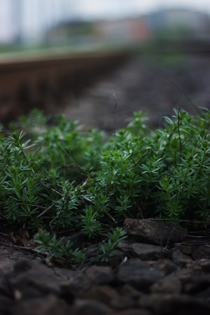 forest railroad: plants on wayside railroad near the forest