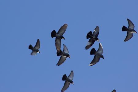 palomas volando: pichones que vuelan en el cielo azul Foto de archivo