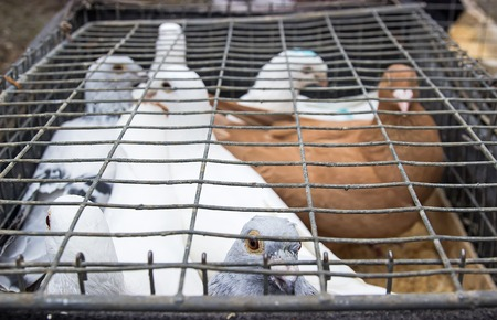 pigeons in cages on display for shopping in pet market