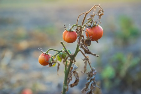 tomate de arbol: bunch of three cherry tomatoes on farm at evening