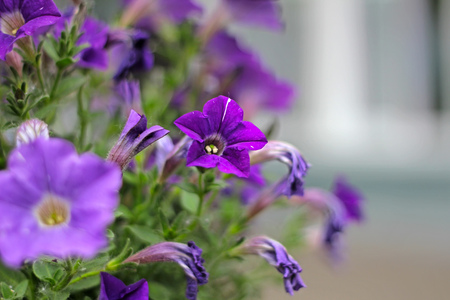mauve: purple pink veined blooms of morning glory at spring