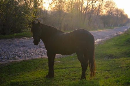 brown horse with chain grazes grass Stock Photo