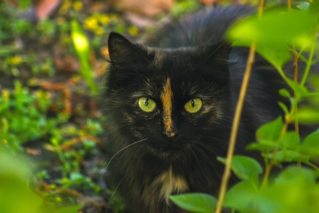 black cat hiding in bush, hunting on mouse
