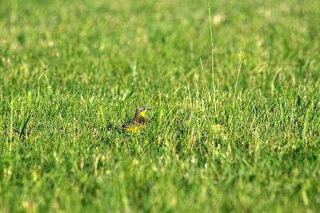 lombriz de tierra: pájaro en la hierba que se esconde de gato