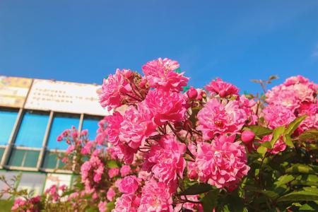velvet flowers in the sunshine at city Stock Photo