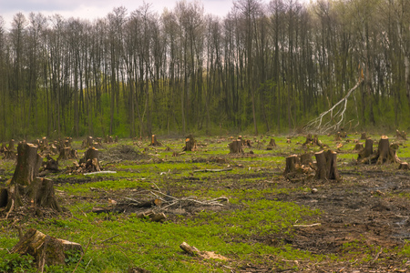 Cut pine trees on the side of wood, natural forest disaster. Stock Photo