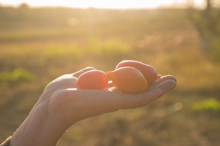 bunch of three cherry tomatoes on farm at evening in hands Stock Photo