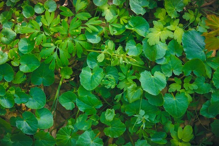Shiny green foliage from wild ginger plants, Asarum europaeum Stock Photo