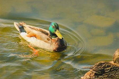 Ducks hunt for fish at evening pond park
