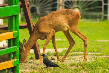 Deer Sniffs around the forest - captive animals
