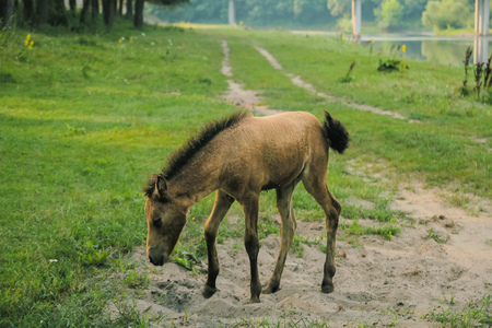 horse grazes grass in the spring evening