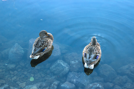 Ducks hunt for fish at evening pond park