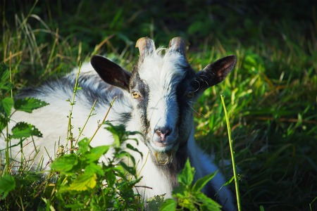 tiny goat eating leafs beside stream at autumn day Stock Photo