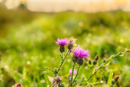 pink milk thistle flower in bloom in summer morning. Cross processed. Analog filter.